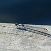 Dragonfly on the Dock Macro