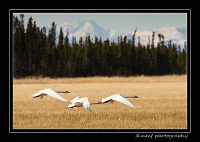 Swans at Delta 1