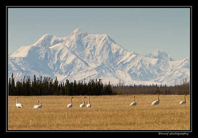 Swans at Delta 2