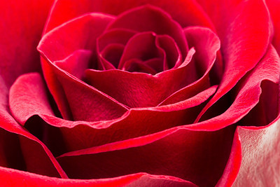 "Week #8, Project 52, ""A Rose by any other name…"""