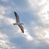 Heavenly Gull - Misquamicut Beach