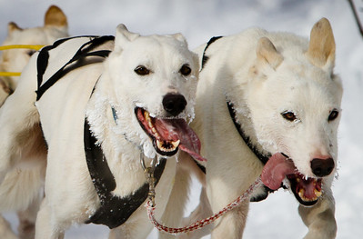 "Week #11, Project 52 – ""Headed home...""   This weeks photo is from the second day of the 67th annual Open North American Championship sled dog races. A tight crop of Rob Worden's lead dogs. This photo is about 17 miles into race as the teams are headed home."