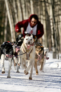 Coming home during the 2008 North American sled dog races.