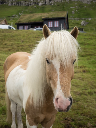A friendly Faroese horse at Kirkjubøur.