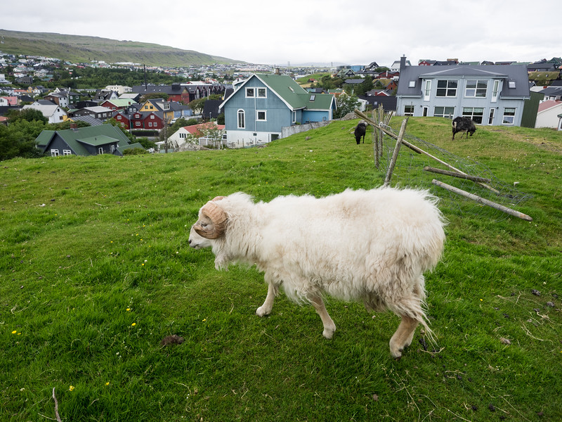 """On the outskirts of Tórshavn. It's the smallest capital city in the world - a ten minute walk took me to this point, where sheep and goats were grazing.  Over the weekend I was staying in Tórshavn there was a big concert in the centre of town, as part of the run up to the Faroes National day, which marks the introduction of Christianity to the Islands a thousand years ago. The concert included 70s rockers Smokie (""""Living Next Door to Alice"""") - apparently they're big in the Faroe Islands. It went on to 3.30am and could be heard all over town - these guys like to party in the summer!"""