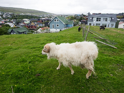 "On the outskirts of Tórshavn. It's the smallest capital city in the world - a ten minute walk took me to this point, where sheep and goats were grazing.  Over the weekend I was staying in Tórshavn there was a big concert in the centre of town, as part of the run up to the Faroes National day, which marks the introduction of Christianity to the Islands a thousand years ago. The concert included 70s rockers Smokie (""Living Next Door to Alice"") - apparently they're big in the Faroe Islands. It went on to 3.30am and could be heard all over town - these guys like to party in the summer!"