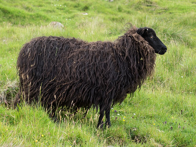 Sheep came in all sorts of colours. I saw one that was white up to the neck, then pure black from neck to top of head, like it was wearing a jumper.