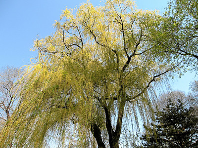 View from the boat, looking at the willows, Central Park, New York City, Spring 2008