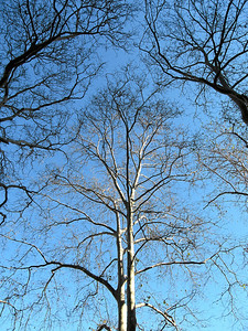 Trees in that park behind Independence Hall, Philadelphia, Pennsylvania 2006