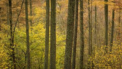 Lichen on Pines