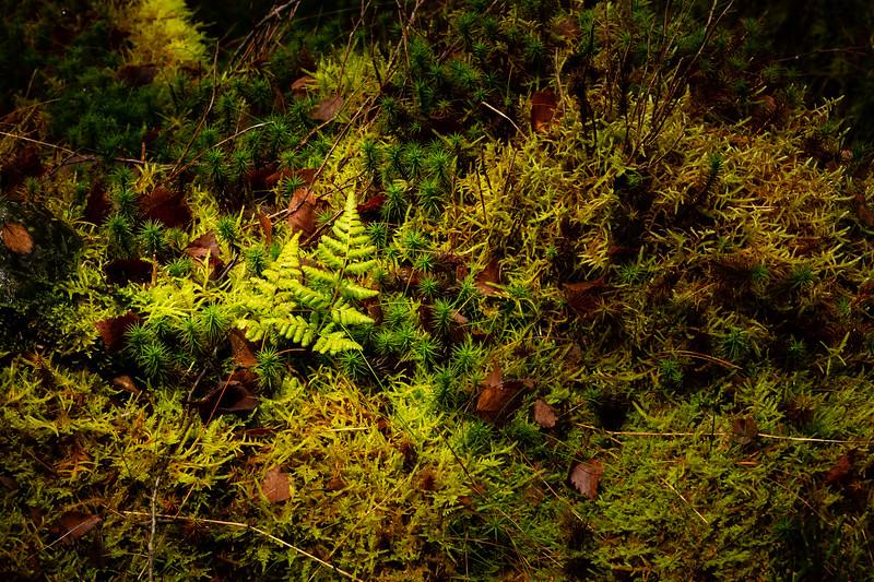 Infant fern