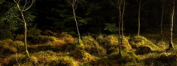 Moss, Birch & Pines