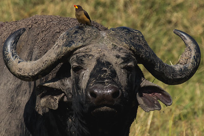 Ox Pecking