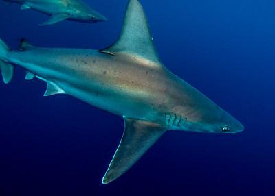 Sandbar Sharks 2