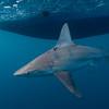 Sandbar Sharks 5