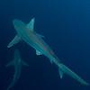 Sandbar Sharks 10