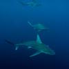 Sandbar Sharks 8