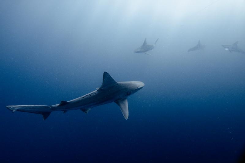 Sandbar Sharks 1