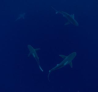 Sandbar Sharks 3