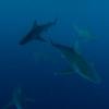 Sandbar Sharks 7