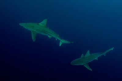 Sandbar Sharks 11