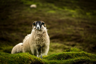 Scotland Quiraing with Sheep by Scott Donschikowski