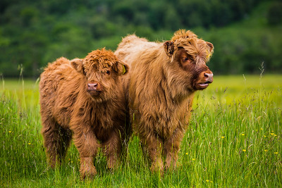 Scotland Highland Cows by Scott Donschikowski