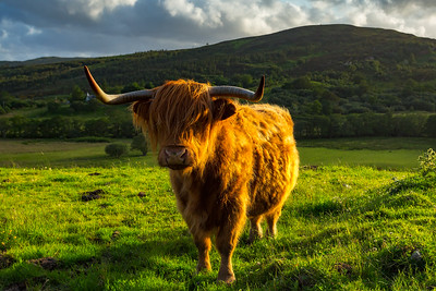 Scotland Highland Cow by Scott Donschikowski