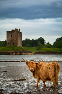 Scotland Castle Stalker with Highland Cow by Scott Donschikowski