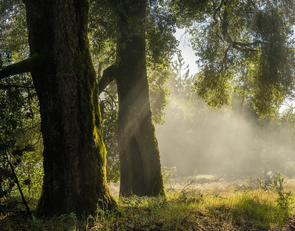 Mist and Oak Trees