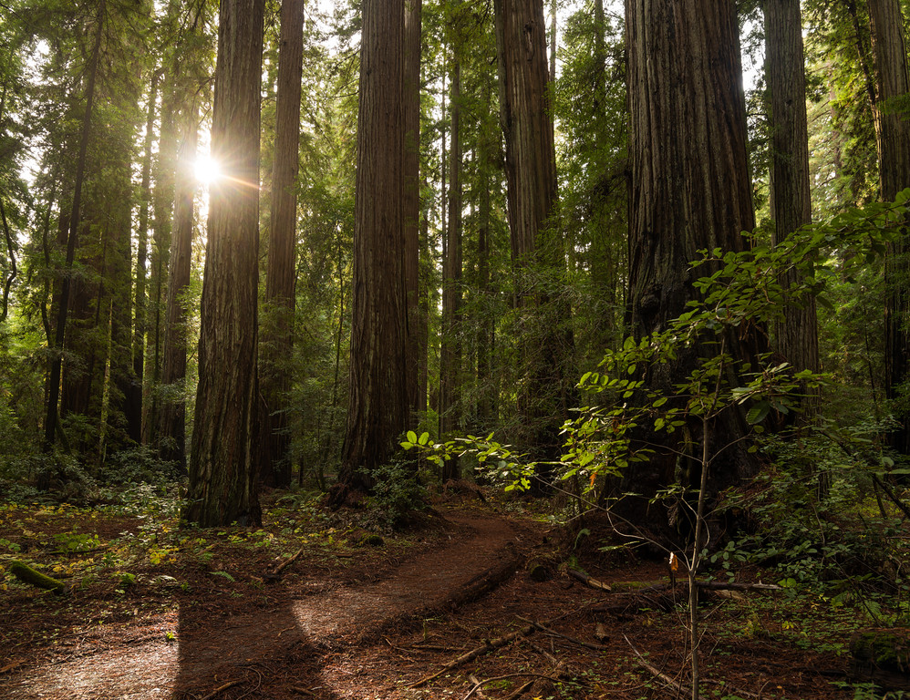 Late Afternoon Redwoods