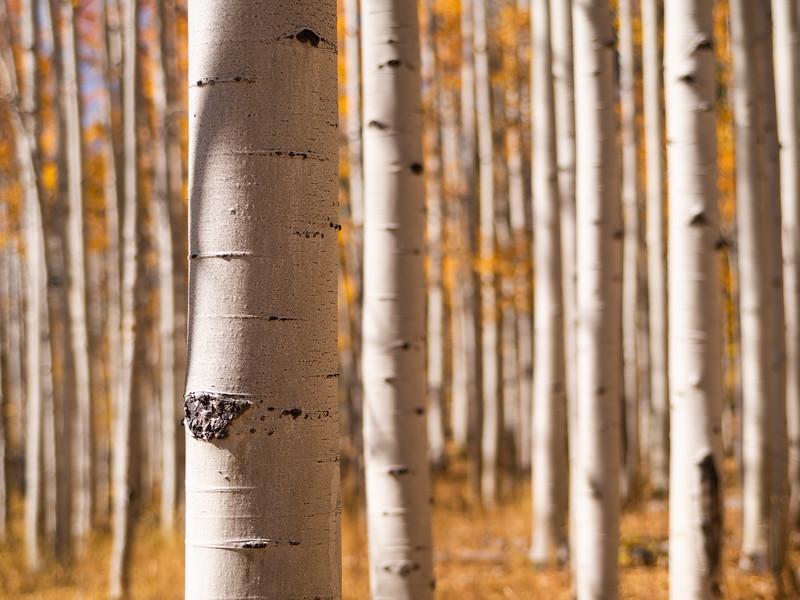 Northern Colorado Aspen Forest