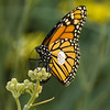 Banded Monarch butterfly