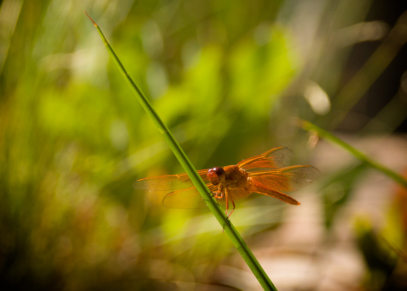 Flame skimmer dragonfly head on