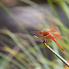 Flame skimmer dragonfly on reed