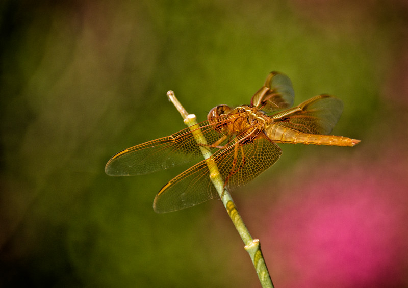 Flame skimmer dragonfly from above