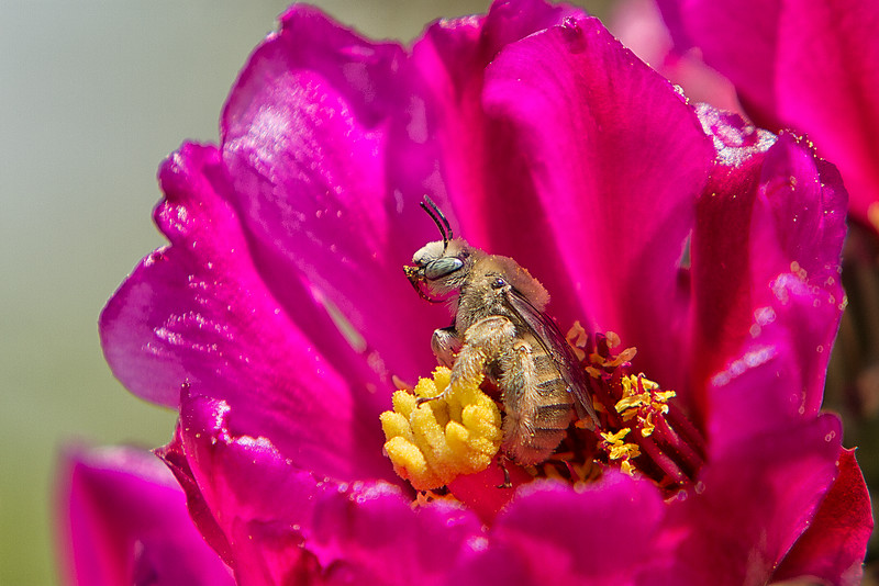 Bee on cholla bloom