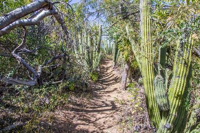 Cactus pathway