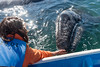 Petting a baby Grey Whale for the first time