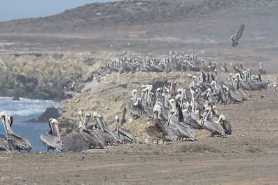 Pelican Army