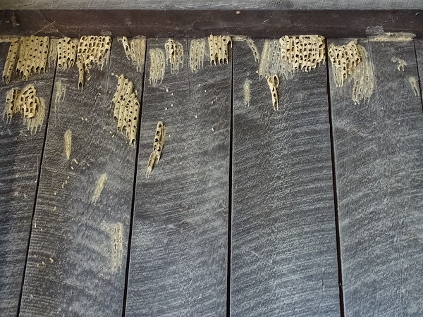 Mud dauber wasp nests