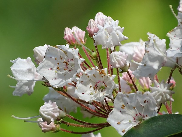 Pennsylvania's state flower, the Mountain Laurel. The buds  look like fancy ice-cream desserts.