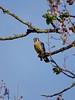 An American Kestrel