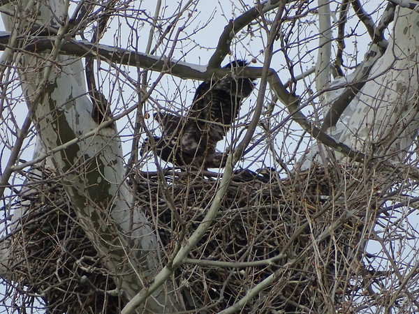 There are two youngsters in this Bald Eagle nest in Pennsylvania, now old enough to flap and strengthen their wings.