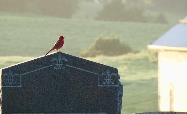 Cardinal on gravestone.