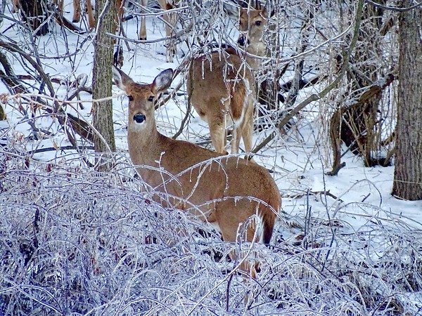 White Tail doe during a freeze in Pennsylvania.