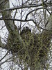 Two juvenile Bald Eagles in nest in Mercersburg PA.