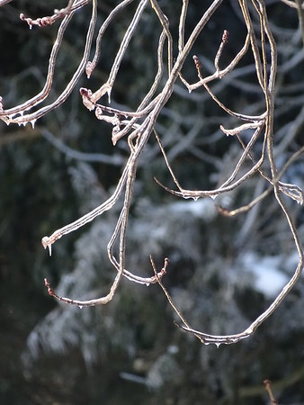 Frosted Tendrils