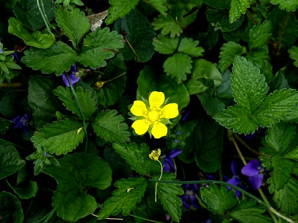 Wild strawberry blossom amid violets.