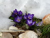 Snow and Crocus near sea shells in flower bed.